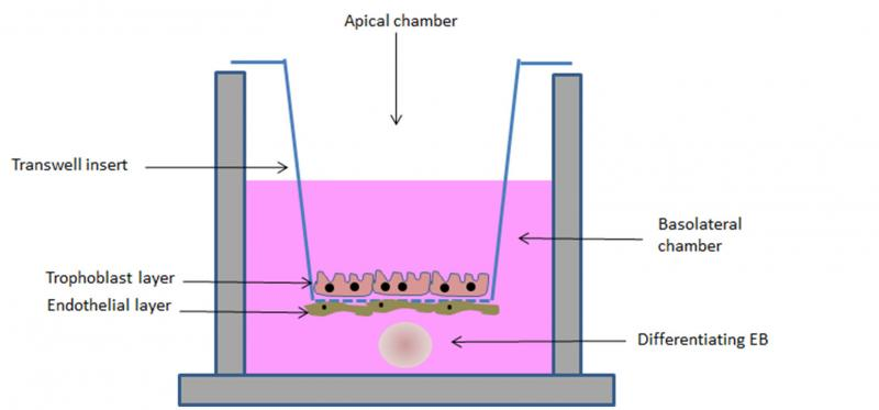 Figure 3. Schematic representation of the bEST in vitro model. A porous transwell culture insert, on which syncytiotrophoblast and endothelial cells (to simulate the placental barrier) are seeded, separates two compartments: an apical compartment, in which the tested compound is added, and a basolateral chamber, in which a differentiating embryoid body (EB, to resemble the embryo) is cultured.